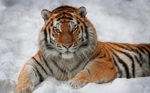 1024_Tiger in the Snow (380x238)